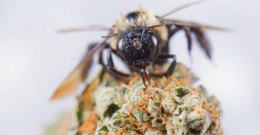 cannabis laced honey