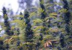 veganic cannabis