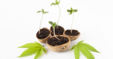 commercial cannabis cultivation