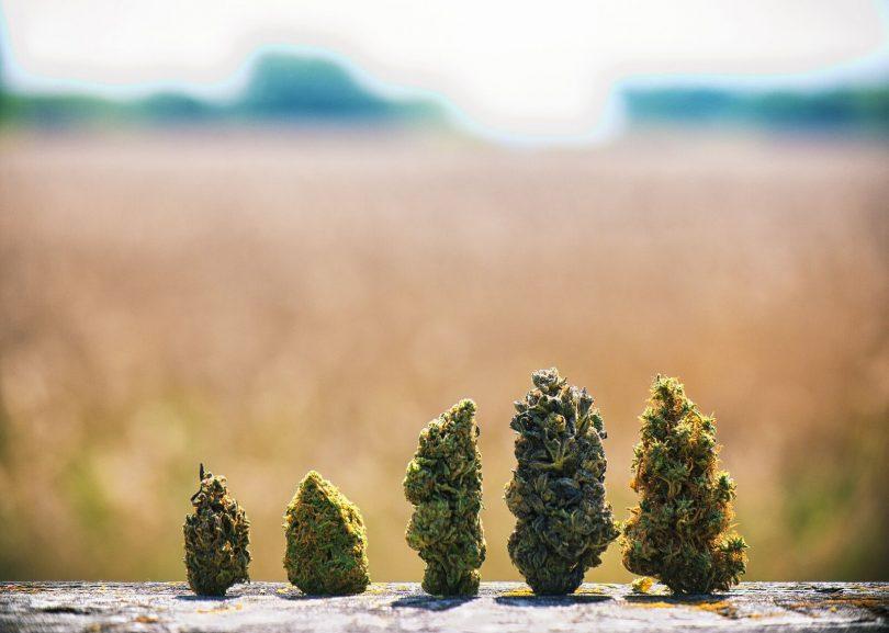 cannabis strain