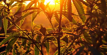 cannabis horticultural science