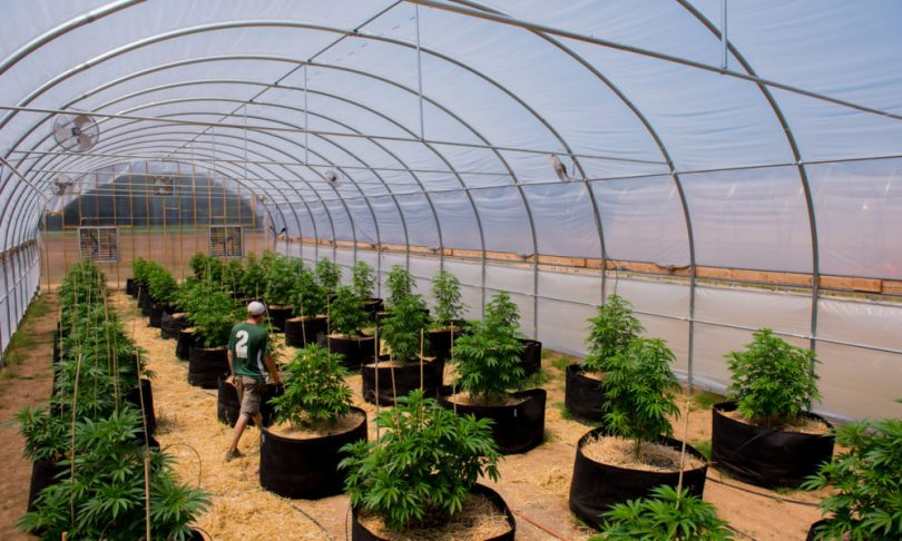 Enjoyable Future Of Cannabis Greenhouse Growing Terpenes And Testing Download Free Architecture Designs Ogrambritishbridgeorg